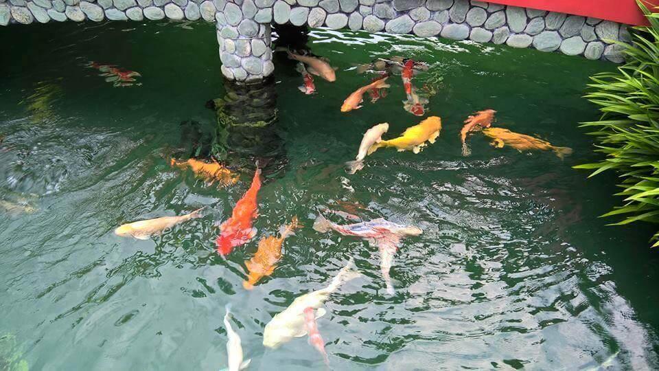 Mẹo nhanh: Xử lý nước nuôi cá Koi đơn giản, hiệu quả