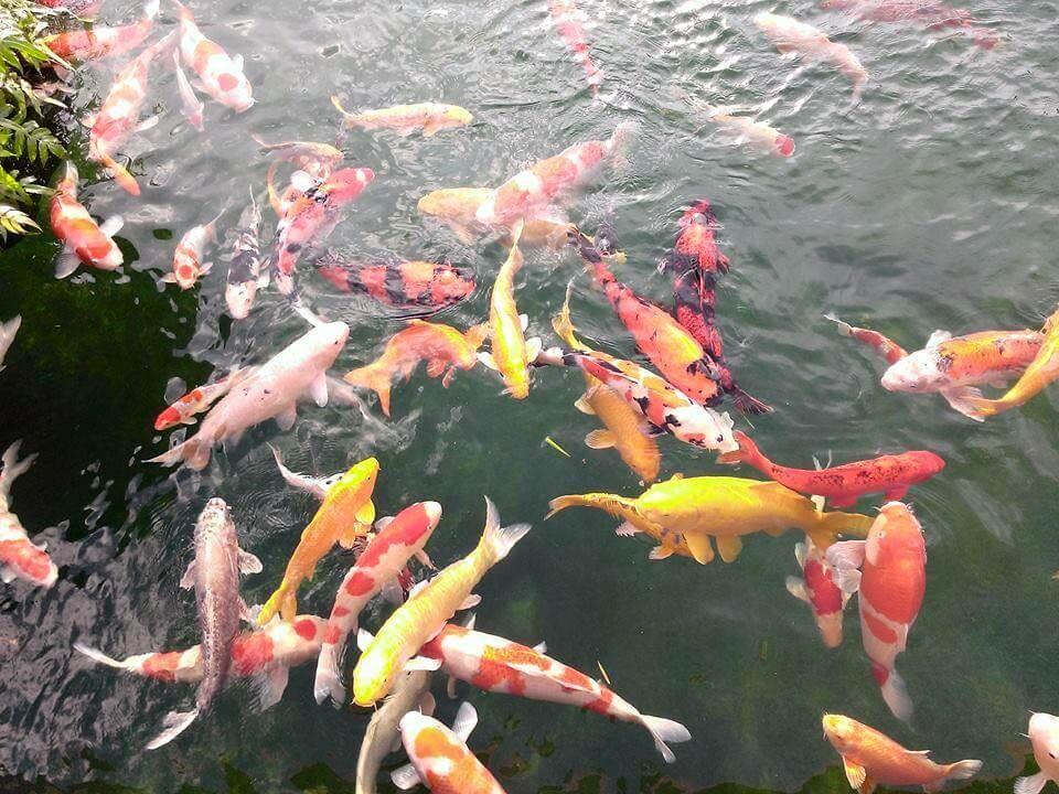 Những điều cần biết về nước nuôi cá Koi